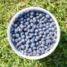 Blueberry Nutrition: It's Picking Season Somewhere!
